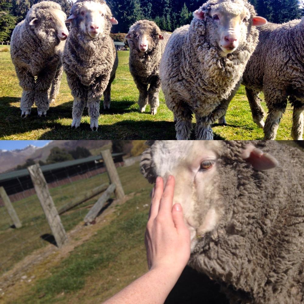 sociaLies sheep